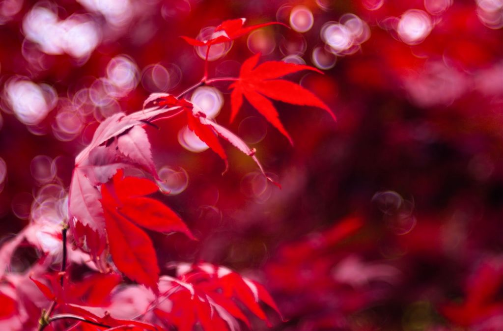 Purple Maple and Bokeh